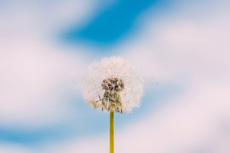 Fiore del dente di leone contro cielo blu con il fondo delle nuvole fotografie stock libere da diritti