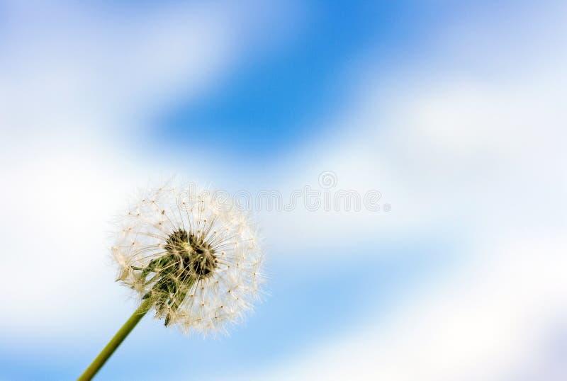 Fiore del dente di leone contro cielo blu con il fondo delle nuvole immagine stock libera da diritti