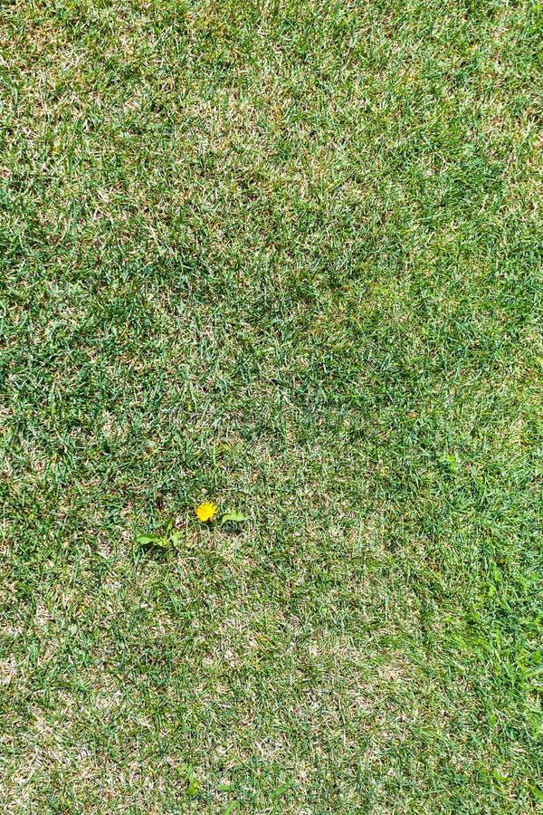 Fiore del dente di leone dell'erbaccia su prato inglese verde tagliato immagini stock