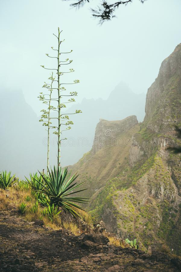 Fiore del fiore di agave sull'altezza di bordo del percorso in montagne Santo Antao Island, Capo Verde Cabo Verde immagine stock