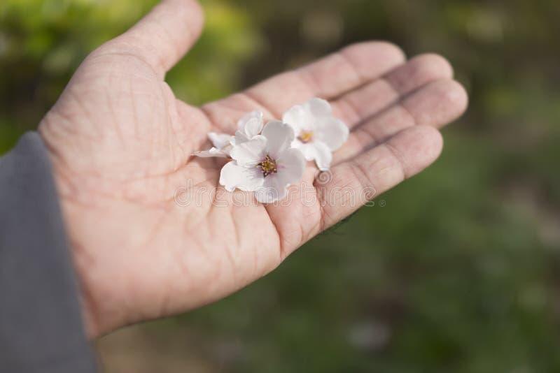 Fiore del fiore di ciliegia o di Sakura in mano dell'uomo immagine stock libera da diritti