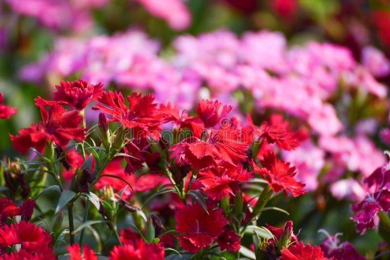 Fiore del Dianthus fotografia stock