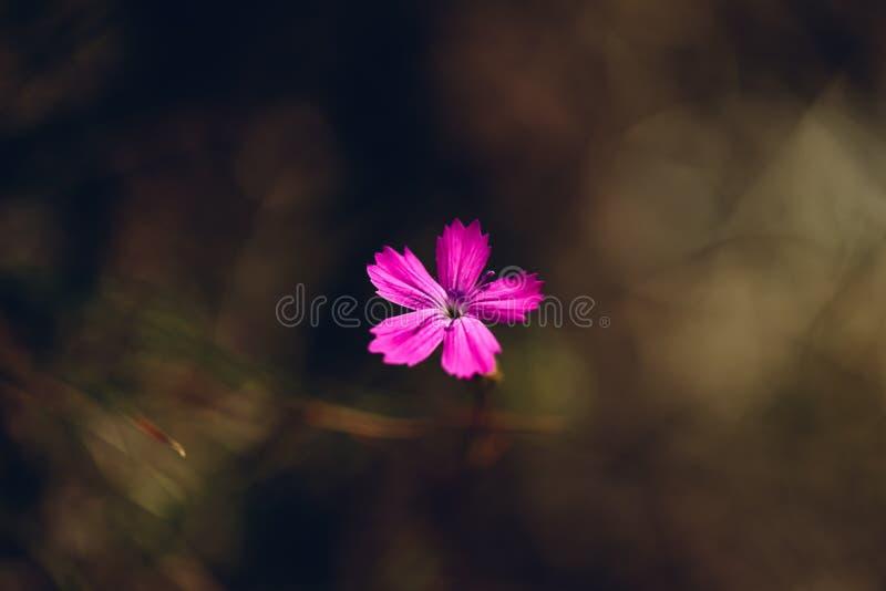 Fiore del dianthus rosa fotografie stock