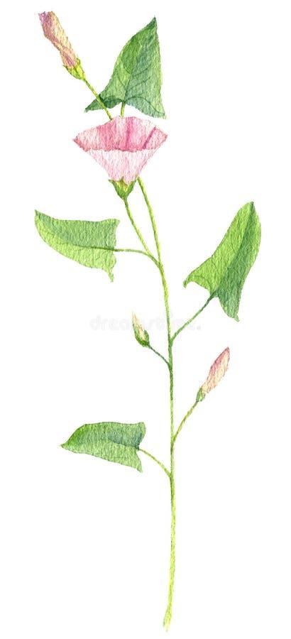 Fiore del disegno dell'acquerello del convolvolo di campo illustrazione vettoriale