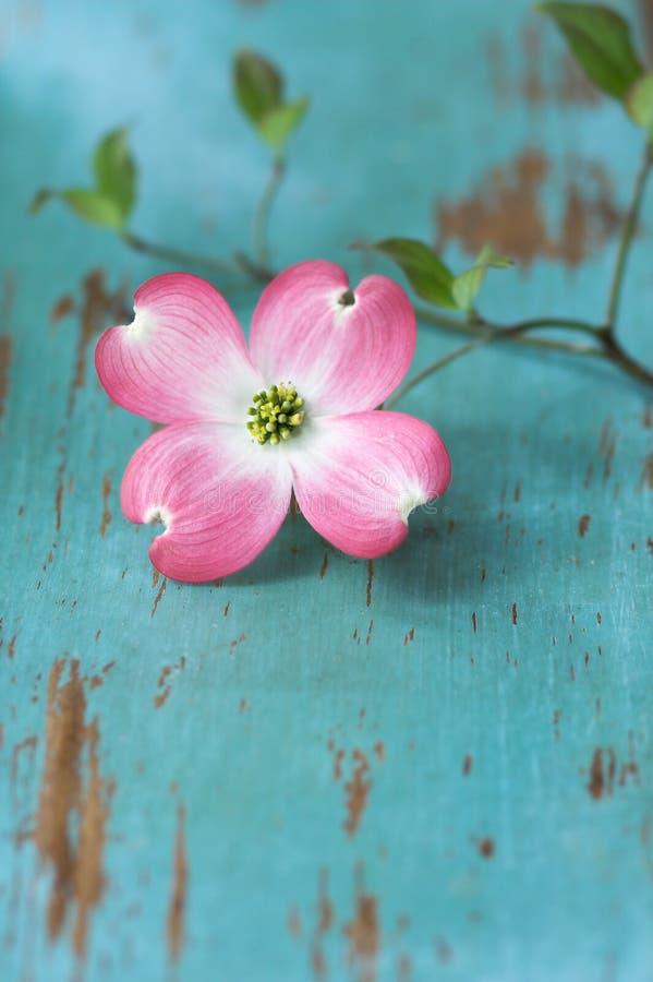 Fiore del Dogwood sulla tabella fotografie stock