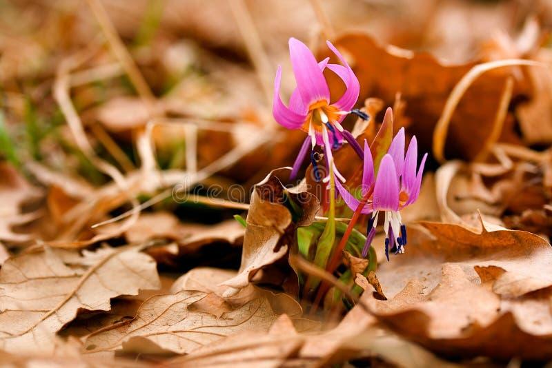 Fiore del Erythronium immagini stock