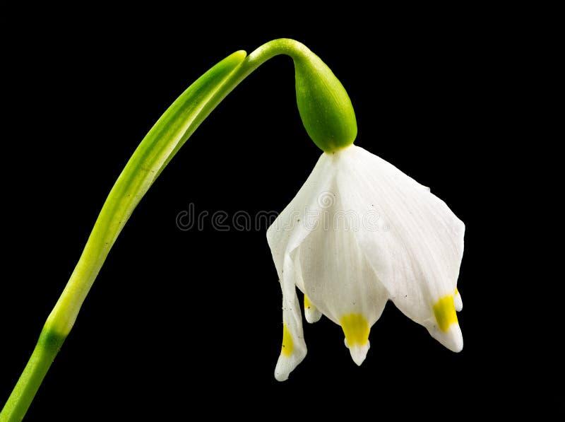 Fiore del fiocco di neve della primavera isolato sul nero fotografie stock