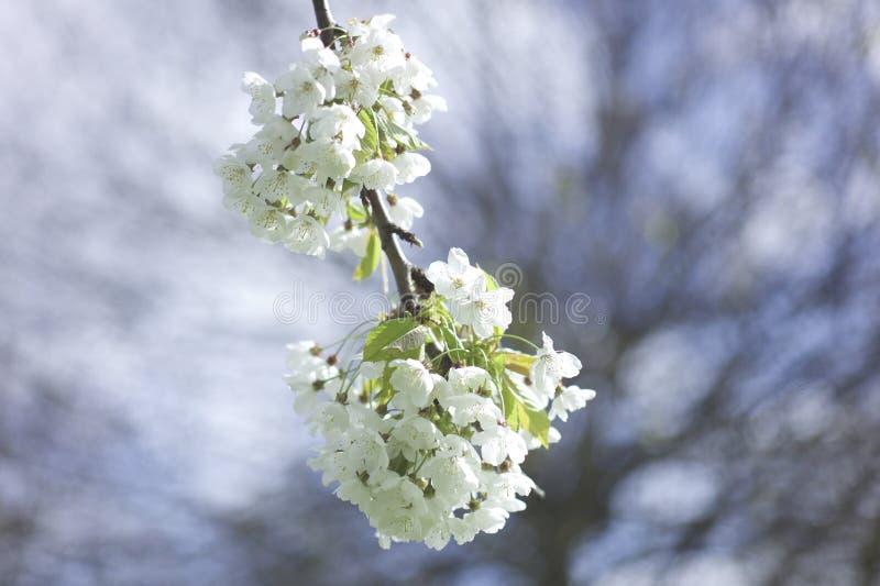 Fiore del fiore bianco fotografia stock libera da diritti