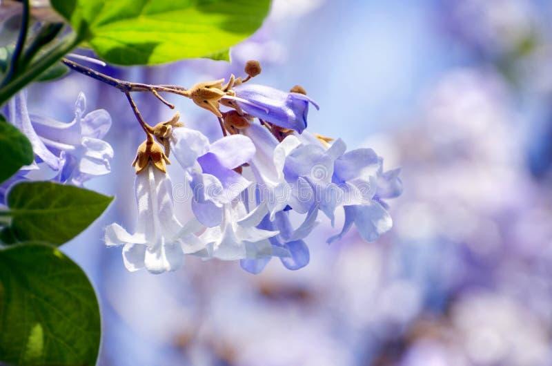 Fiore del fiore del Paulownia della primavera fotografia stock