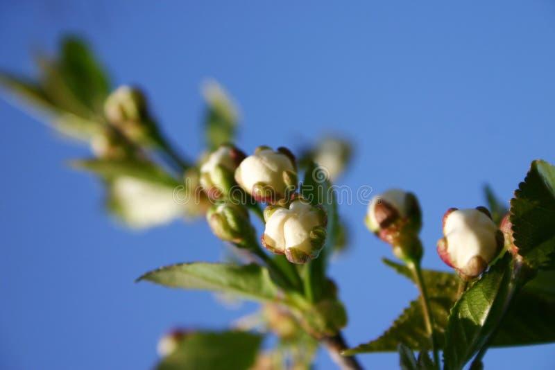 Fiore del fiore dell'albero della sorgente fotografie stock