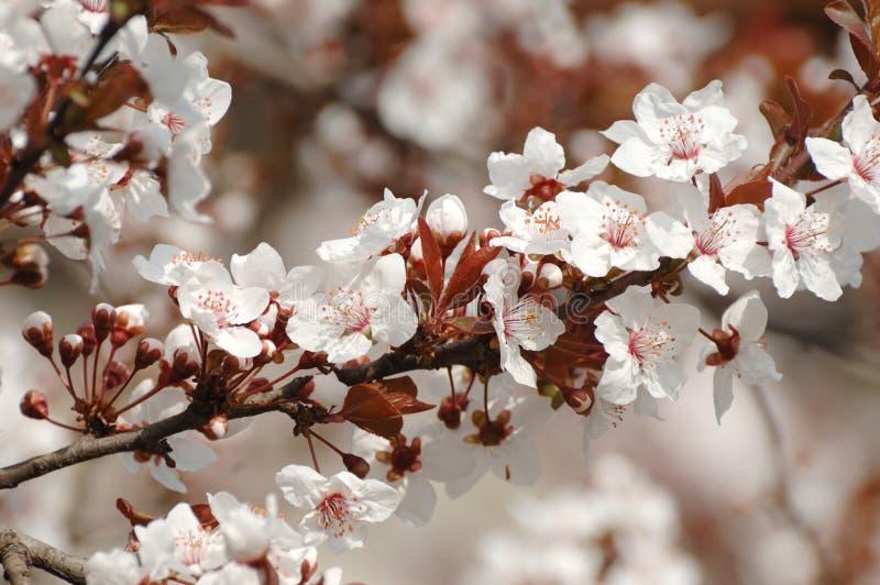 Fiore del fiore dell'albero di albicocca della sorgente fotografia stock libera da diritti