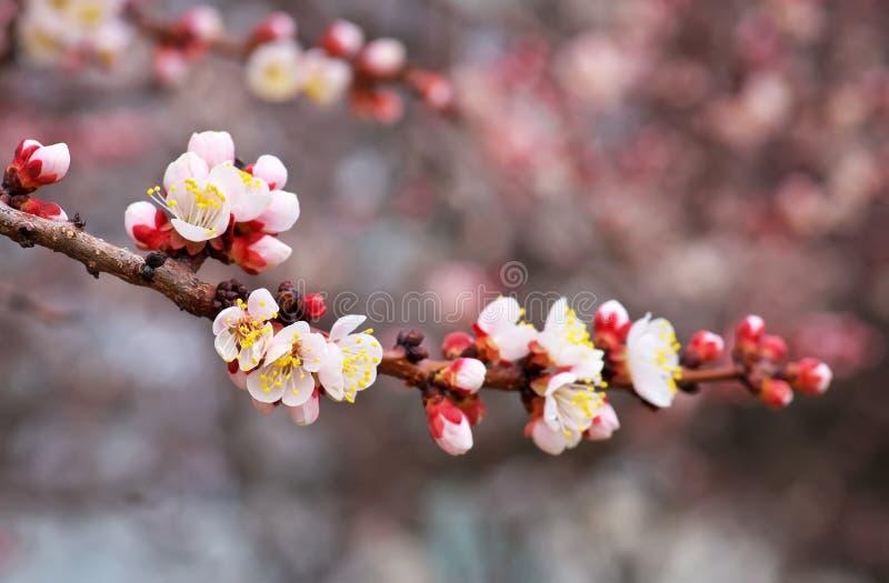 Fiore del fiore dell'albero di albicocca su cielo blu fotografia stock libera da diritti