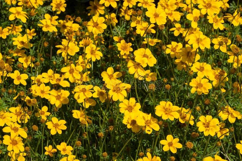 Fiore del fiore dell'universo, fiore dell'universo della Tailandia, bei fiori in giardino fotografia stock libera da diritti