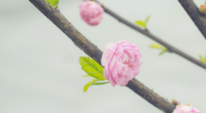 Fiore del fiore della ciliegia di Sakura in primavera Ramo floreale della primavera Bei fiori su un ramo di albero Priorità bassa immagine stock