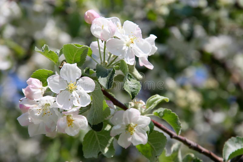 Fiore del fiore di ciliegia - foto di riserva della primavera immagine stock