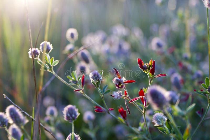 Fiore del fiore selvaggio nel campo immagini stock