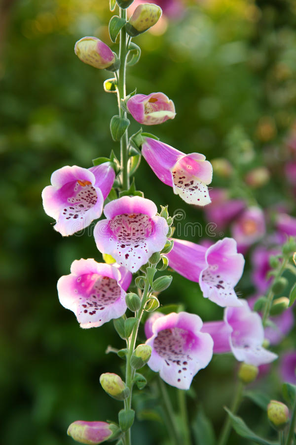 Fiore del Foxglove fotografia stock libera da diritti