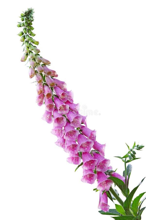 Fiore del Foxglove fotografie stock