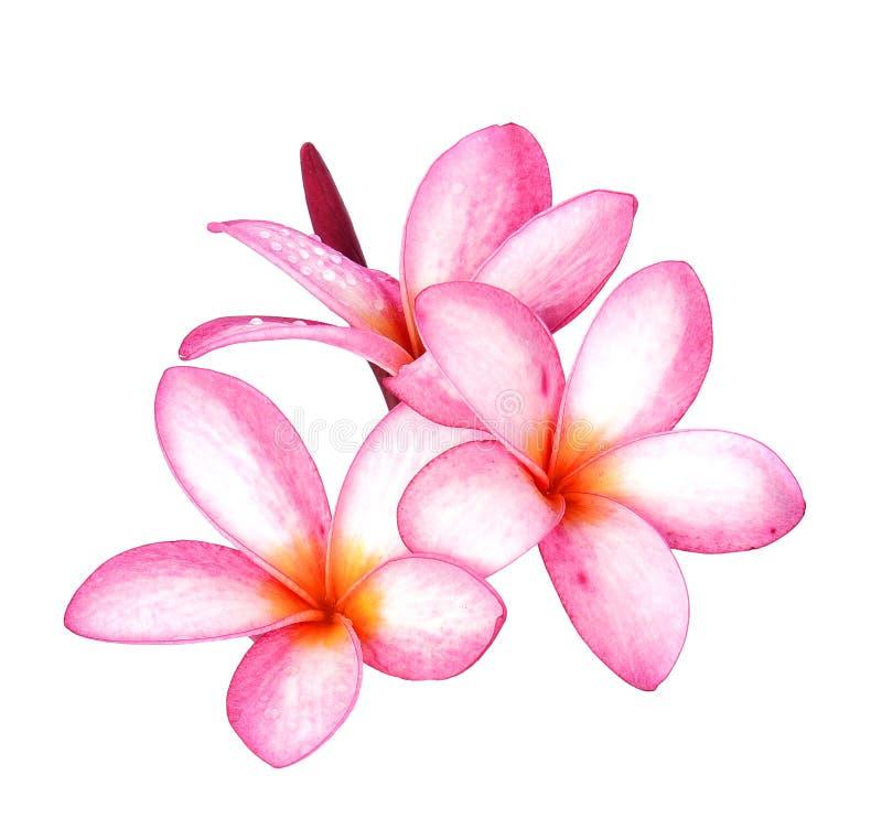 Fiore del frangipane della goccia di acqua isolato su fondo bianco fotografie stock
