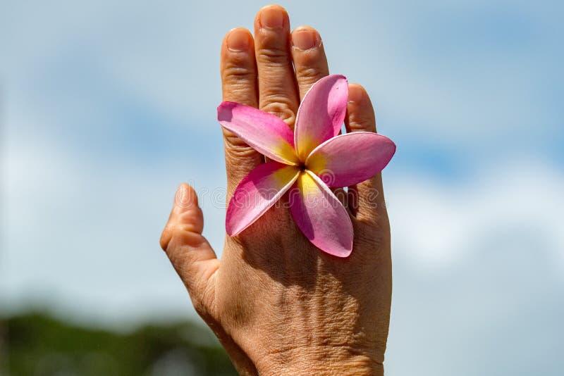 Fiore del frangipane della tenuta della mano della donna fotografie stock