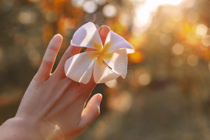 Fiore del frangipane della tenuta della mano della donna alla fine di tramonto su fotografia stock