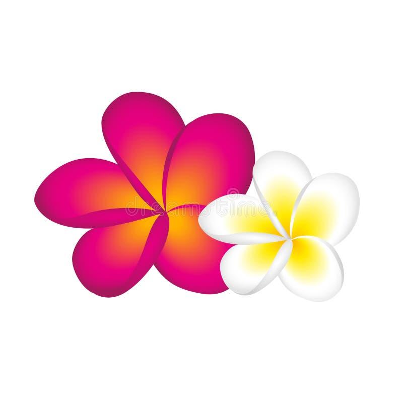 Fiore del fiore del frangipane di plumeria bianco e rosa royalty illustrazione gratis