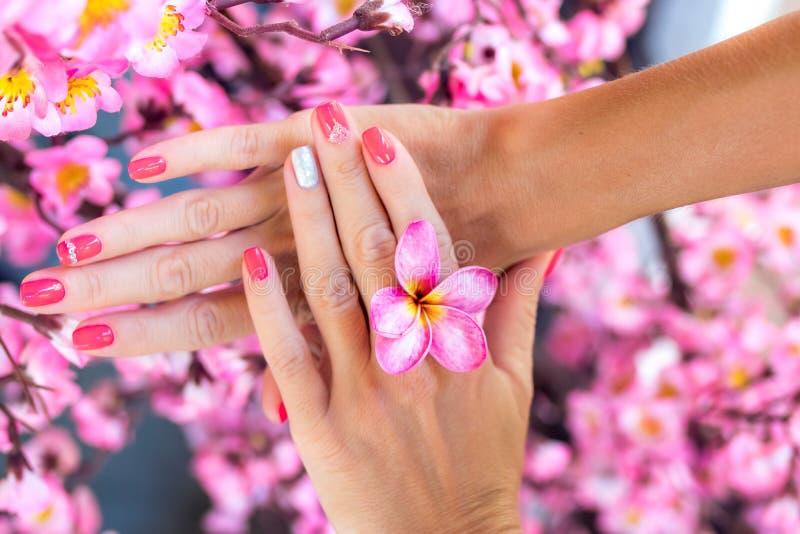 Fiore del frangipane di plumeria in mano della donna su un bello fondo rosa decorativo di sakura fotografia stock libera da diritti