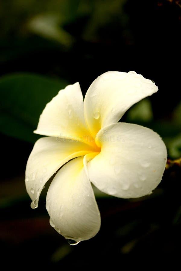 Fiore del frangipane dopo la pioggia fotografie stock