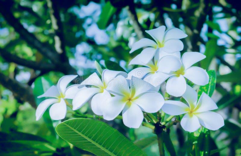 Fiore del fiore del frangipane o del fiore della stazione termale di plumeria immagine stock libera da diritti