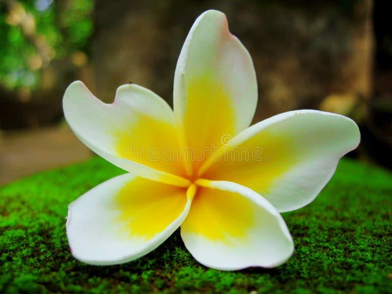 Fiore del Frangipani contro la priorità bassa fredda del muschio fotografia stock libera da diritti