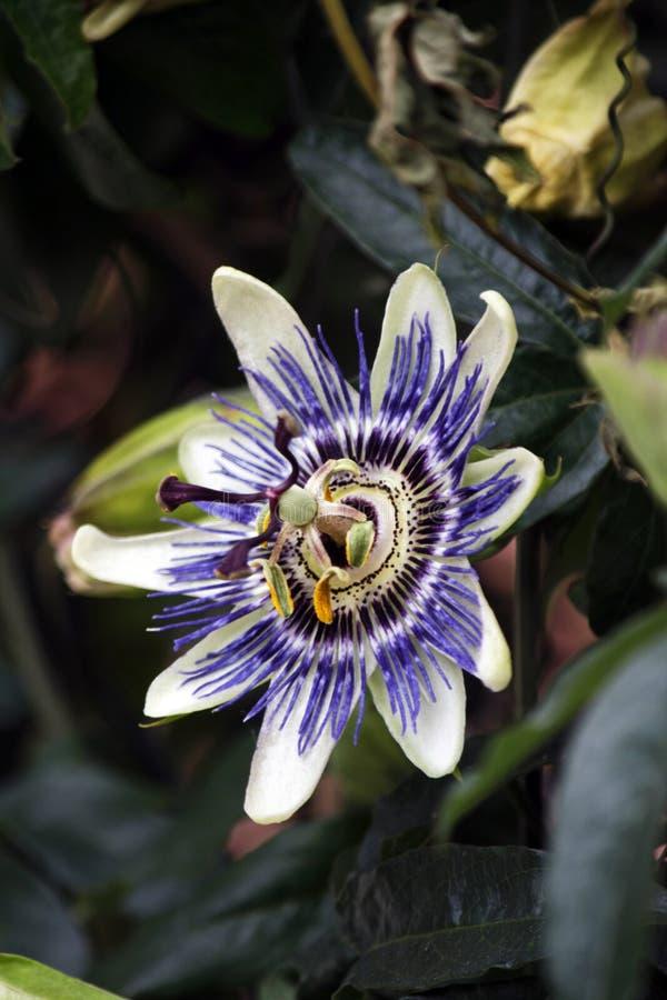 Fiore del frutto della passione immagine stock