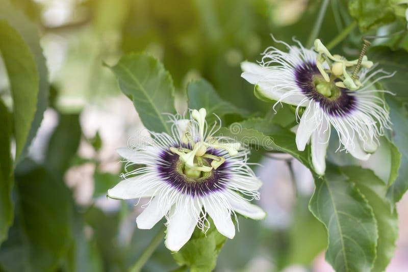 Fiore del frutto della passione sull'albero con il fondo della natura fotografia stock