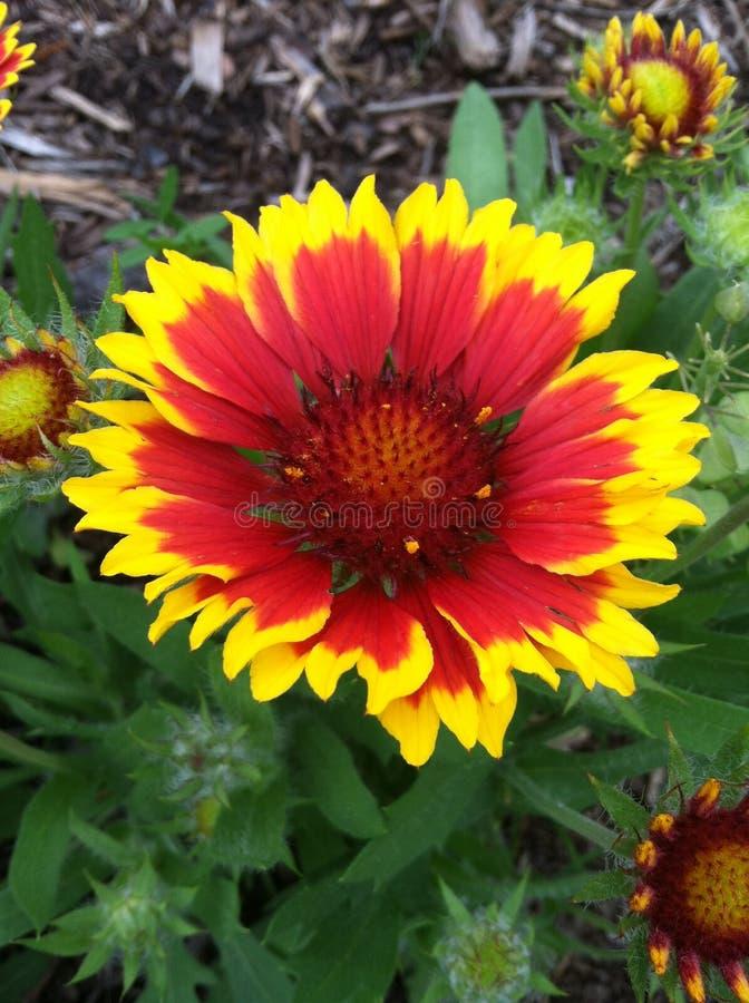 Fiore del fuoco fotografie stock libere da diritti