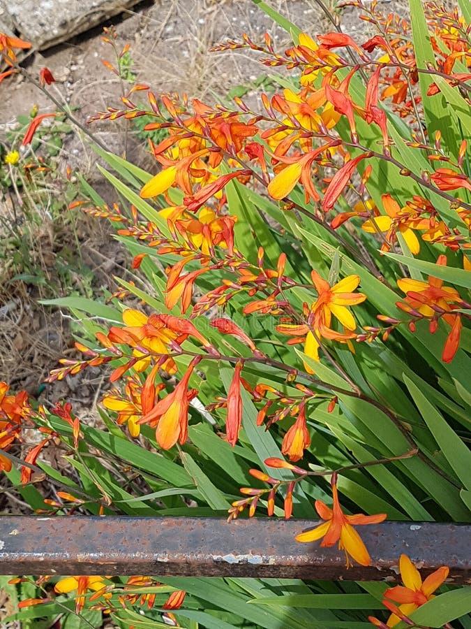 Fiore del fuoco fotografie stock