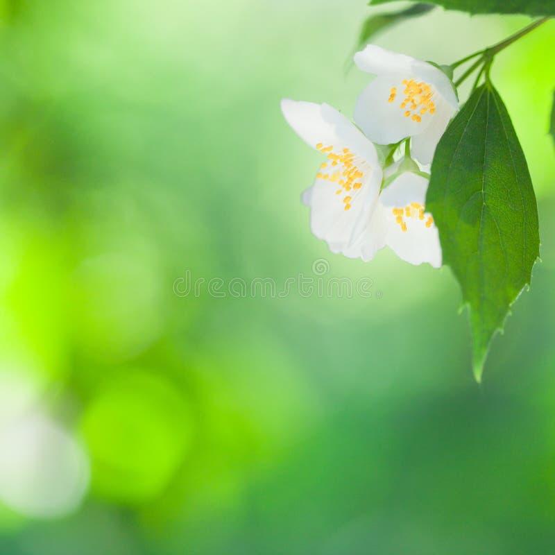 Fiore del gelsomino fotografie stock libere da diritti