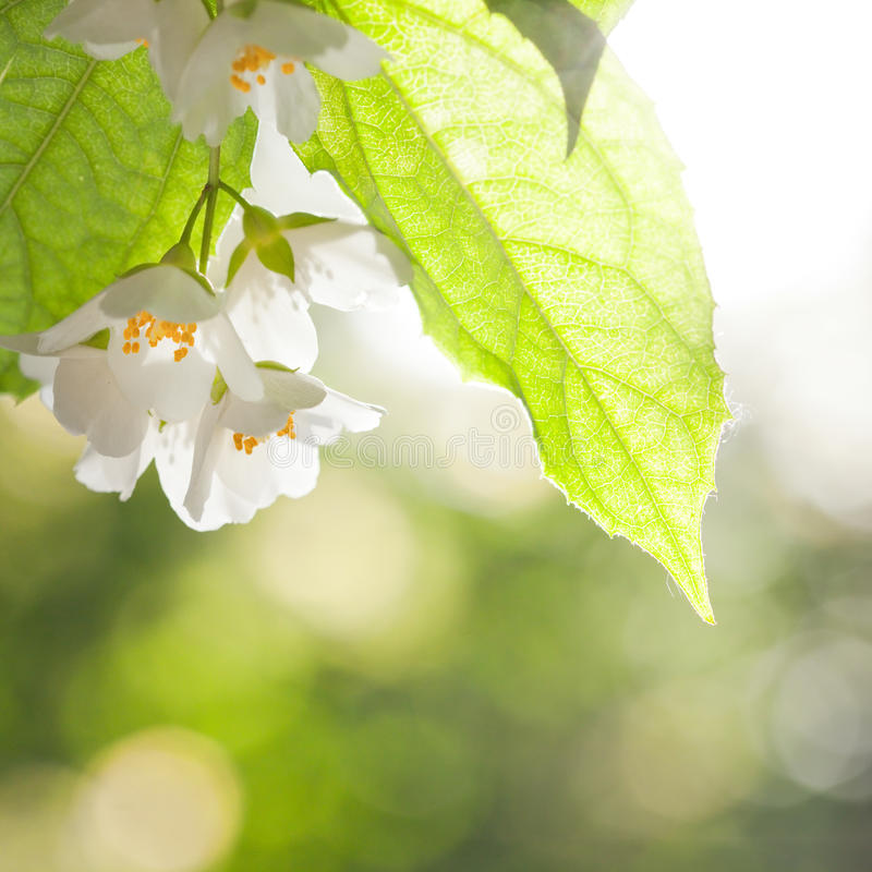 Fiore del gelsomino fotografia stock libera da diritti