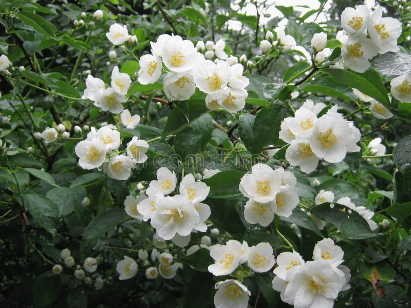 Fiore del gelsomino bianco immagine stock
