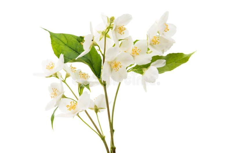 fiore del gelsomino isolato fotografie stock