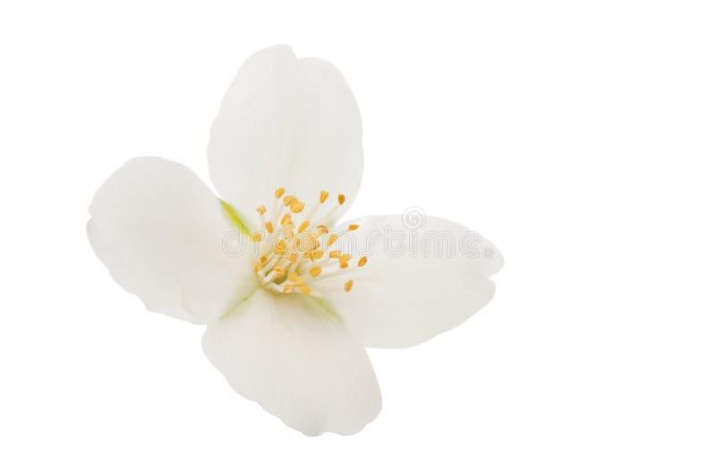 fiore del gelsomino isolato fotografia stock