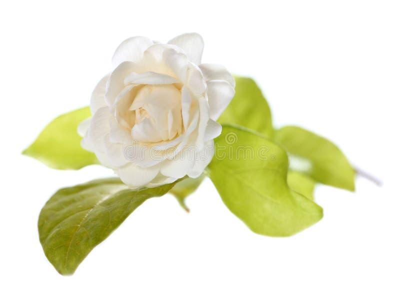 Fiore del gelsomino isolato su fondo bianco fotografie stock
