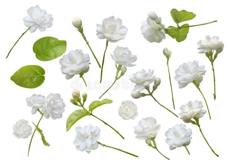 Fiore del gelsomino isolato su fondo bianco, simbolo della festa della mamma in Tailandia fotografie stock