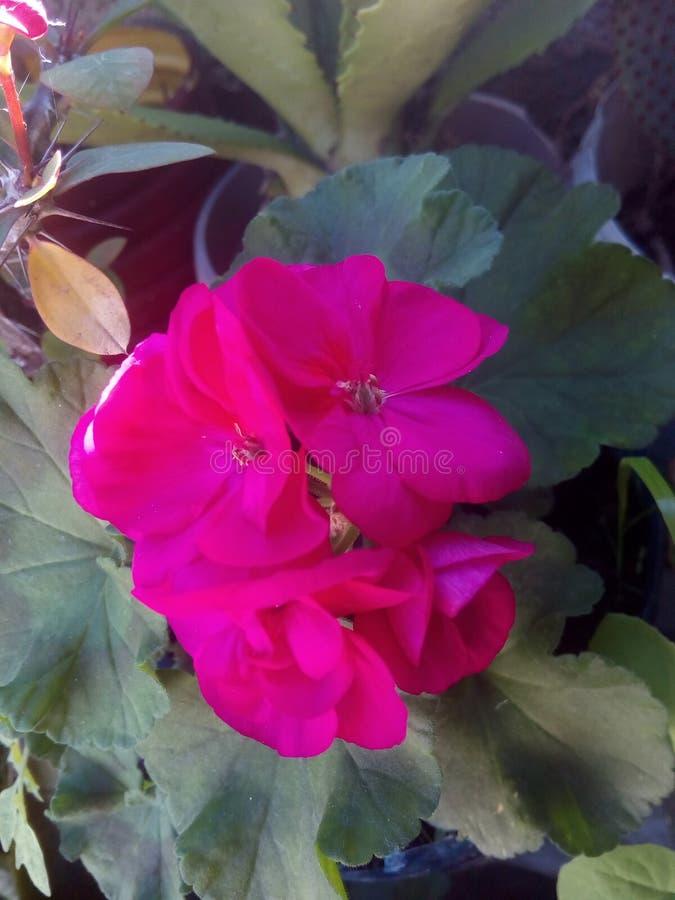 Fiore del geranio fotografia stock