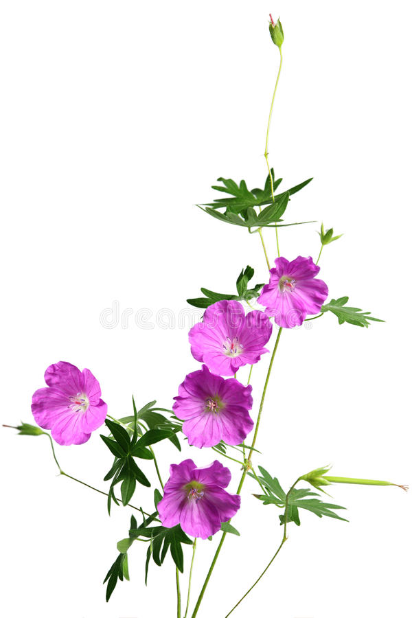 Fiore del geranio di Sandrine immagine stock libera da diritti