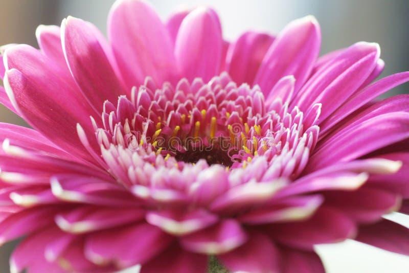 Fiore del Gerbera immagini stock