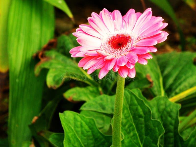 Download Fiore del Gerbera immagine stock. Immagine di naughty - 55360875