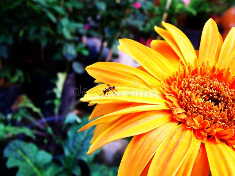 Download Fiore del Gerbera immagine stock. Immagine di isolato - 55360911