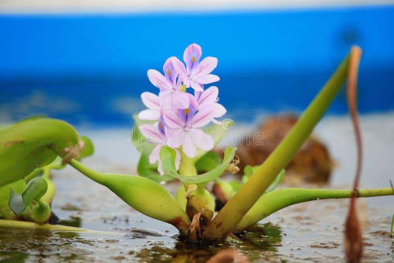 Fiore del giacinto d'acqua immagini stock