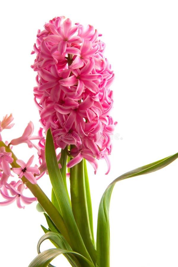 Fiore del giacinto della primavera su fondo bianco immagine stock