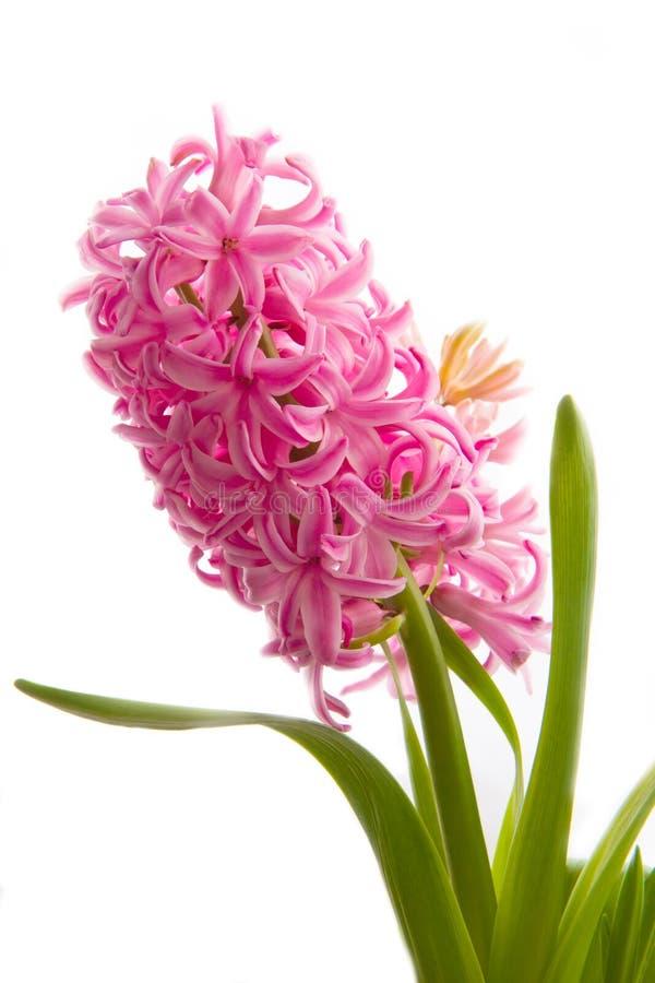 Fiore del giacinto della primavera su fondo bianco fotografia stock libera da diritti