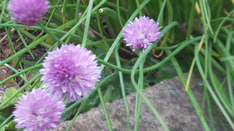 Fiore del giardino nazionale fotografia stock libera da diritti